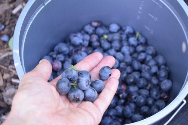 Blueberry Picking Near Orlando