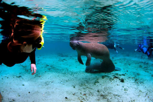 Snorkel with manatees in Crystal River